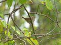 Troglodytes aedon aedon, Jamaica Bay NY 1.jpg