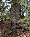 Tsuga canadensis (Canadian Hemlock) (31991196945).jpg