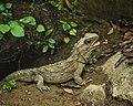 Tuatara (5205719005).jpg