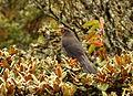 Turdus fuscater (Mirla patiamarilla) (15321736958).jpg