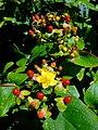 Tutsan (Androseum hypericum) - geograph.org.uk - 885693.jpg