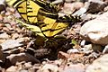 Two-tailed Swallowtail Butterfly laying eggs - South Fork - Cave Creek - AZ - 2015-07-24at11-52-3319 (20558623040).jpg