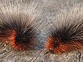 Two garden tiger moth caterpillars.jpg
