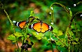 Two plain tiger butterflies.jpg