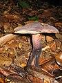 Tylopilus alboater (Schwein.) Murrill 29049.jpg