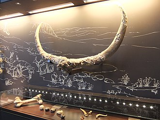 Ubeidiya - Large horns from a species of extinct bovid (Israel Museum)