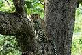 Uday Kiran Leopard BR Hills-5.jpg