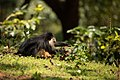 Uday Kiran Lion-tailed macaque lifting a stone for invertibrates-2.jpg