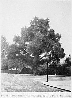 <i>Ulmus minor</i> Sowerbyi Elm cultivar