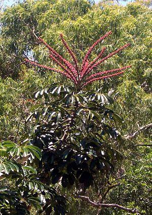 Schefflera actinophylla - Umbrella tree flowers