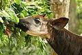 Un okapi en captivité à Epulu 2, 2005 (4443582060).jpg