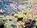 Under water sea weeds near Rushikonda beach, Visakhapatnam (December 2018) (4).jpg