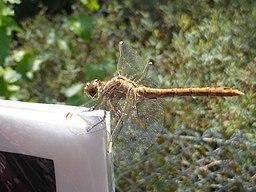 Unidentified Odonata - Parc des oiseaux 03
