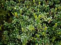 Vaccinium vitis-idaea01.jpg