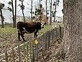 Vache Âne Parc Croissant Vert Neuilly Marne 1.jpg