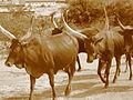 Vache de Nyagatare 9.JPG