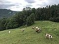 Vaches à La Rixouse.JPG