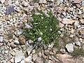 Valeriana montana001.jpg