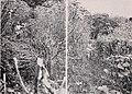 Vanilla culture in Puerto Rico (1948) (20569825835).jpg