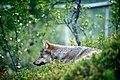 Varg fotograferad pa Polar Zoo Norge (12).jpg