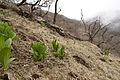 Veratrum album subsp. oxysepalum 19.jpg