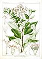 Vernonia pectiniformis Rungiah.jpg