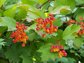 Viburnum opulus - Plant with fruit