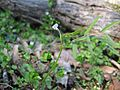 Vicia minutiflora.jpg
