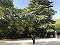 View of grand camphor tree of Noin Praying for Rain in Oyamazumi Shrine.jpg