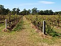 Vineyard in the Hunter Valley (01).jpg