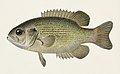 Vintage illustrations by Denton from Game Birds and Fishes of North America digitally enhanced by rawpixel 26.jpg