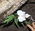 Viola eizanensis s4.jpg