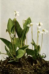 Viola primulifolia WFNY-140A.png