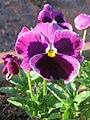 Viola tricolor var. hortensis, garden pansy from Nilgiris (1).jpg