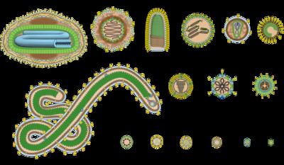 Viren Merkmale Aufbau Und Vermehrung Lecturio 12
