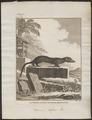Viverra cafra - 1700-1880 - Print - Iconographia Zoologica - Special Collections University of Amsterdam - UBA01 IZ22400121.tif