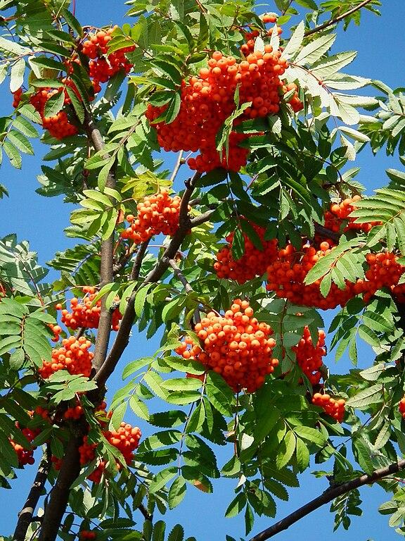 Jarabina vtáčia - plody