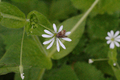 Vogelsberg Schotten Breungeshain Hoherodskopf Stellaria nemorum.png