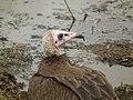 Vulture in Tanzania 3090 Nevit.jpg