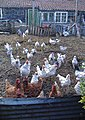 Walkington hens - geograph.org.uk - 614446.jpg