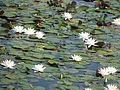 Water lilies white flowers nelumbo lutea or american lotus.jpg