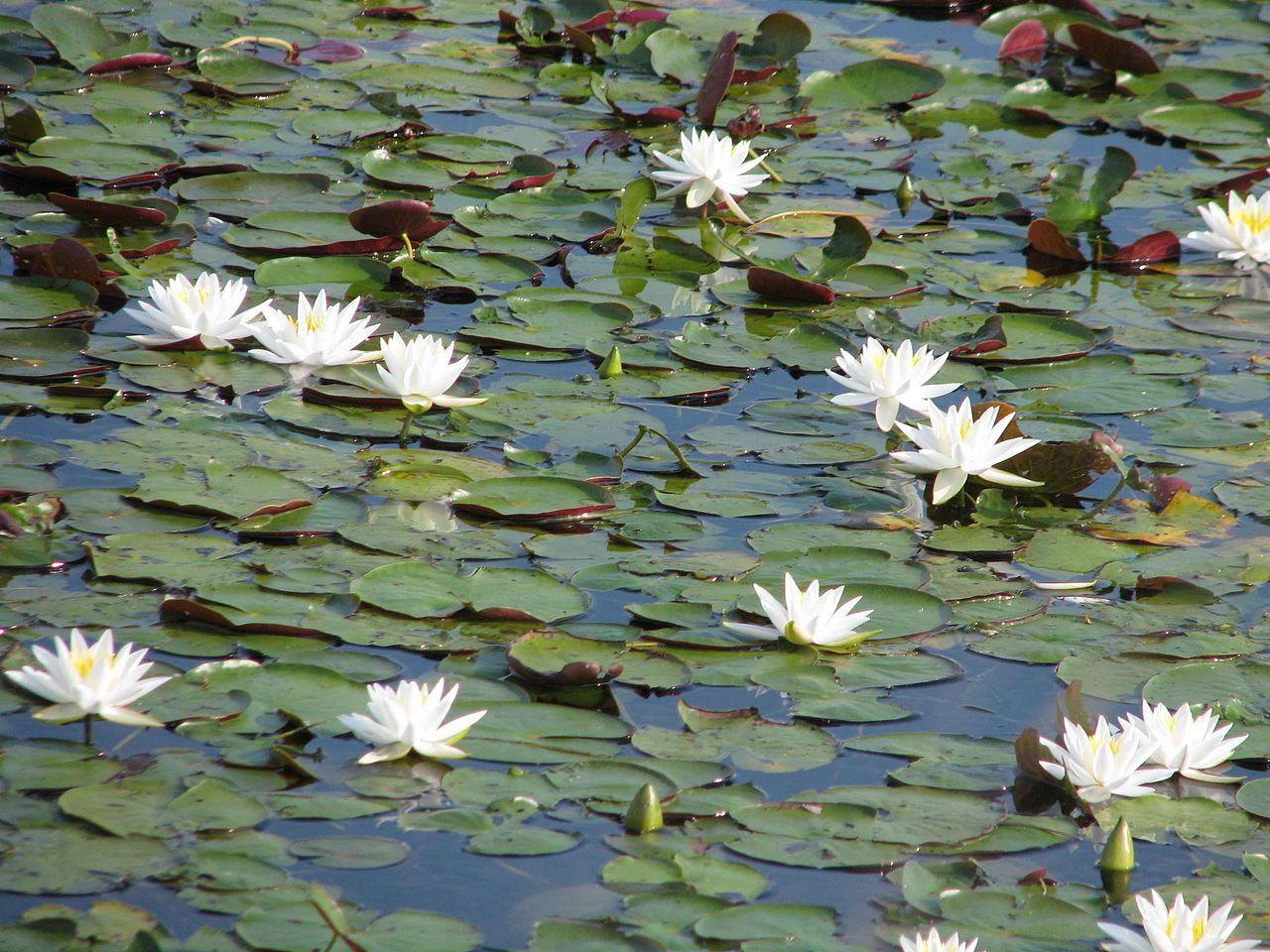 Filewater Lilies White Flowers Nelumbo Lutea Or American Lotusg