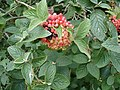 Wayfaring Tree - Viburnum lantana - geograph.org.uk - 1172954.jpg