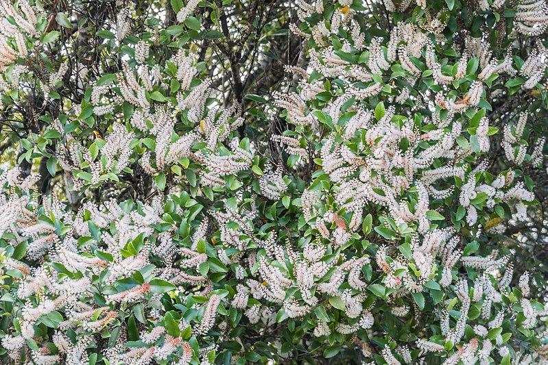 File:Weinmannia racemosa in West Coast Region 05.jpg