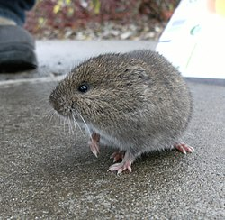 Western red-backed vole.jpg