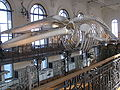 Whale skeleton Monaco.jpeg