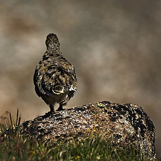 White-tailed ptarmigan - A ptarmigan displaying its natural camouflage, matching the patterns of the lichen covered rock of its environment.