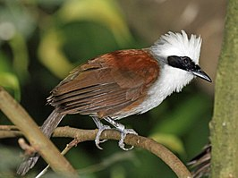White-crested Laughingthrush RWD3.jpg
