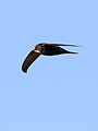 White-rumped swift, Apus caffer, at Suikerbosrand Nature Reserve, Gauteng, South Africa (23244600642).jpg