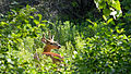 White-tailed Deer (Odocoileus virginianus), Male - London, Ontario 02.jpg